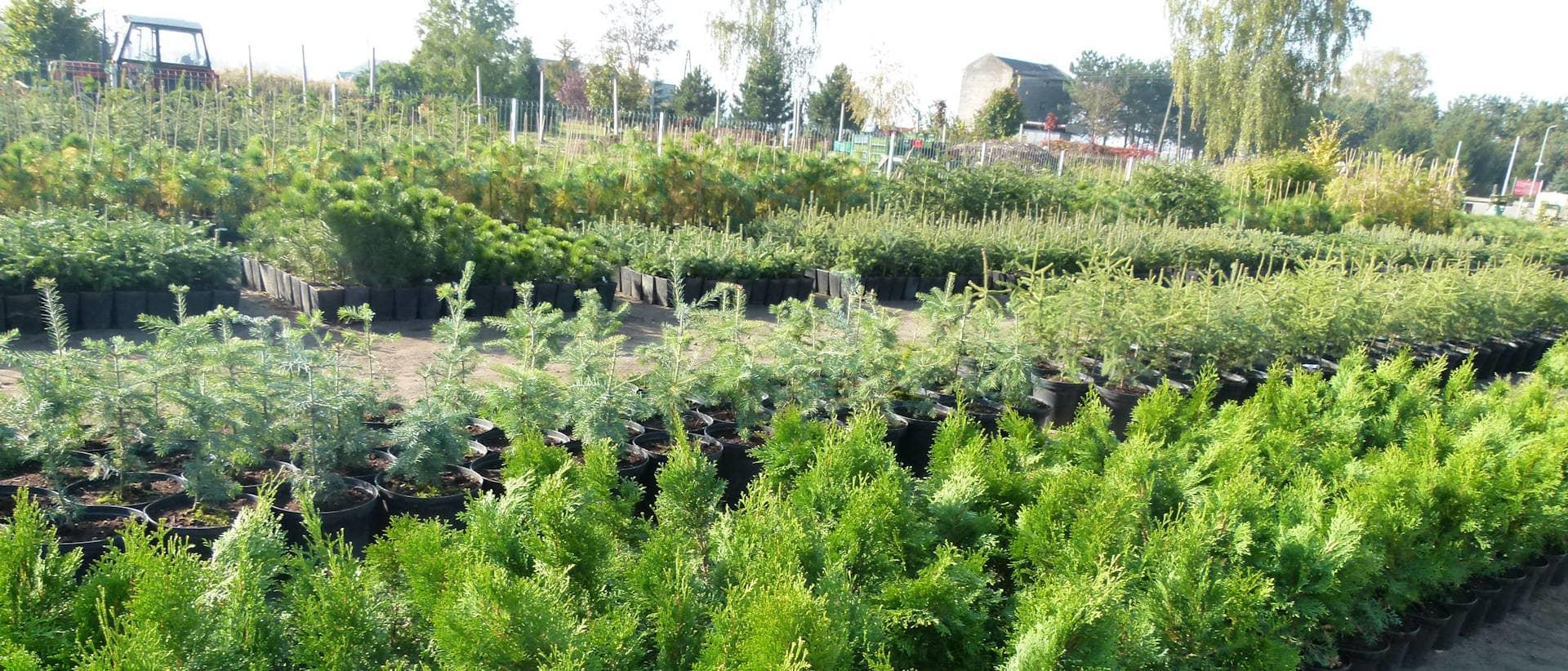 densiflora-img (1)